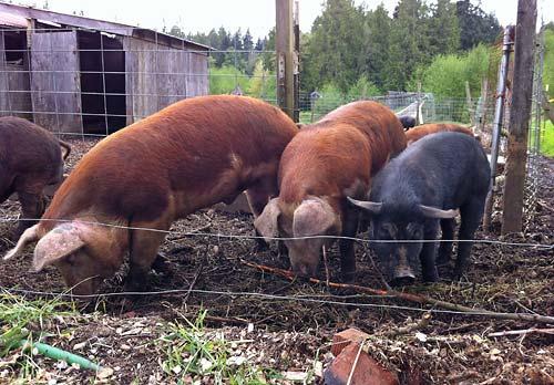 slippery pigs